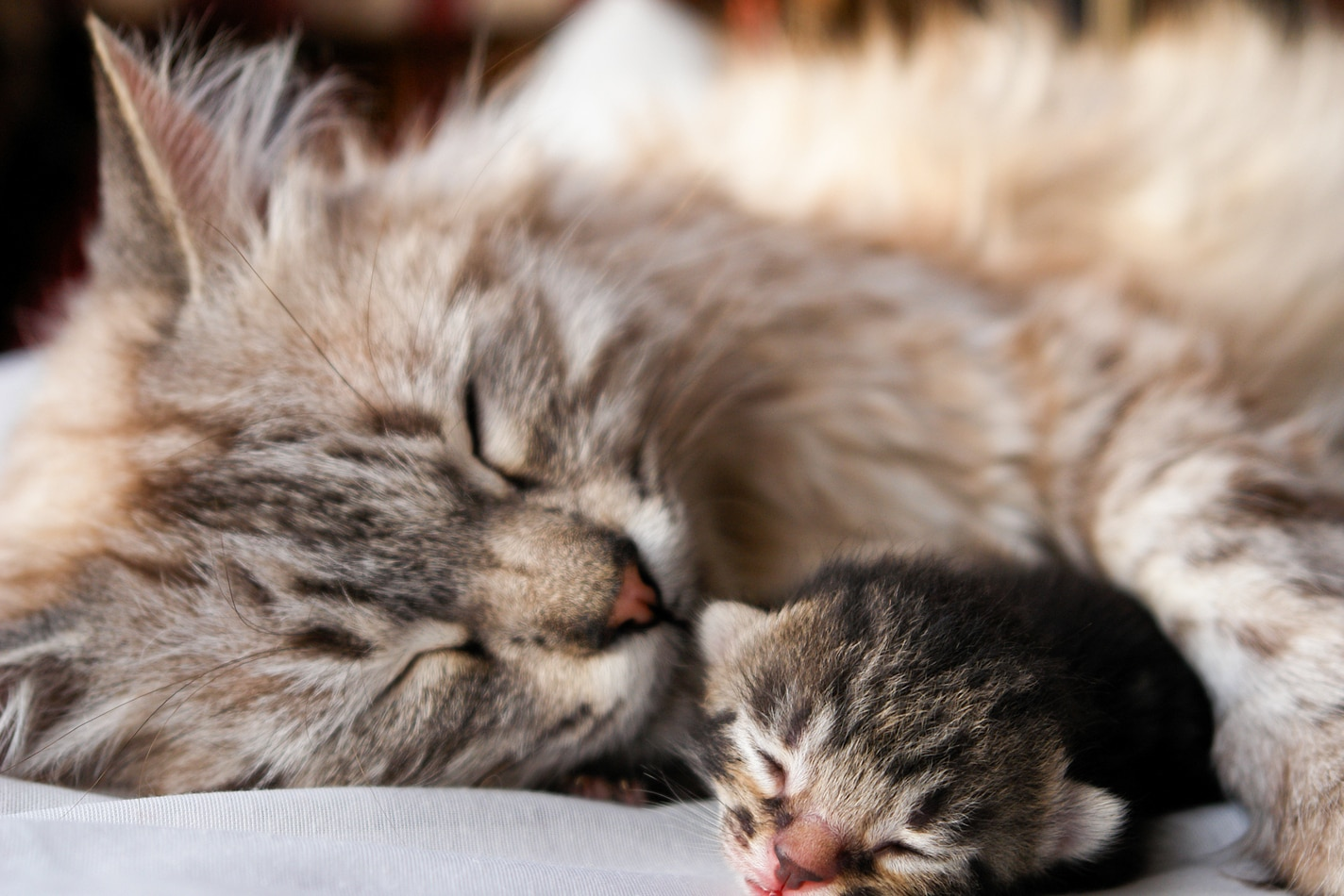 Long-haired mother cat sleeps with her paw around a newborn kitten.