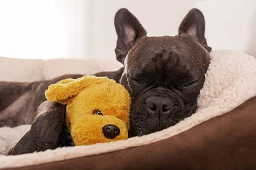 Black dog sleeps in dog bed and snuggles with yellow stuffed dog.