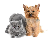 gray cat and gold dog