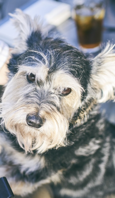 Black and brown terrier looks up intently.